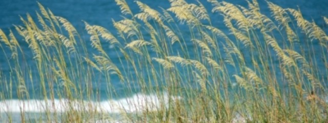 sea oats - cropped
